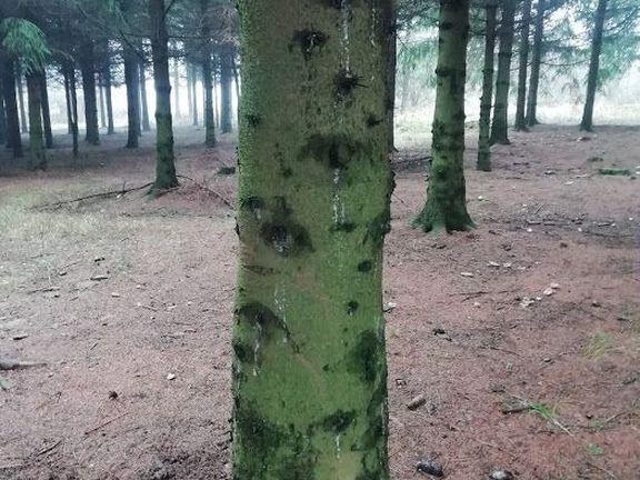 Jelova šuma